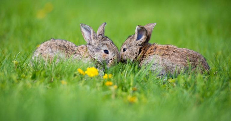 Wildlife officials warn the spread of a new virus in rabbits